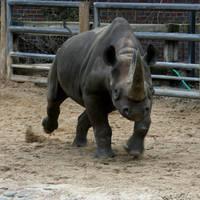 rhino by Drezdany-stocks