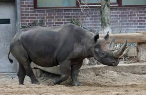 rhino 1 by Drezdany-stocks