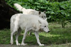 wolf 1 by Drezdany-stocks