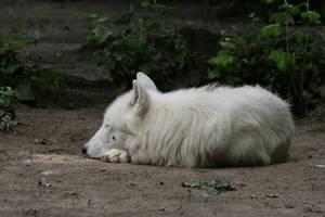 wolf 3 by Drezdany-stocks