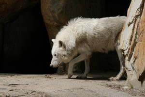 wolf 11 by Drezdany-stocks