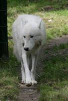 wolf 12 by Drezdany-stocks