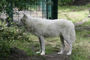 wolf 14 by Drezdany-stocks