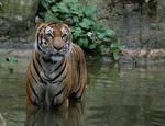 tiger 24