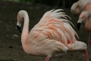 flamingo 4 by Drezdany-stocks