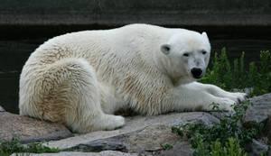 bear 3 by Drezdany-stocks