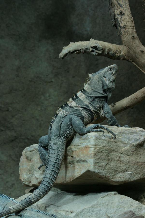 Iguana by Drezdany-stocks