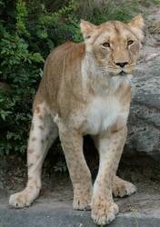 lion 10 by Drezdany-stocks