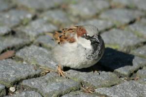 sparrow by Drezdany-stocks