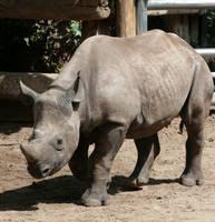 rhino 3 by Drezdany-stocks