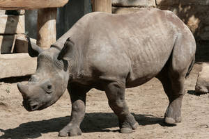 rhino 4 by Drezdany-stocks