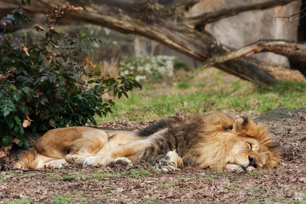 tired lion by Drezdany-stocks