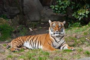 tiger 30 by Drezdany-stocks
