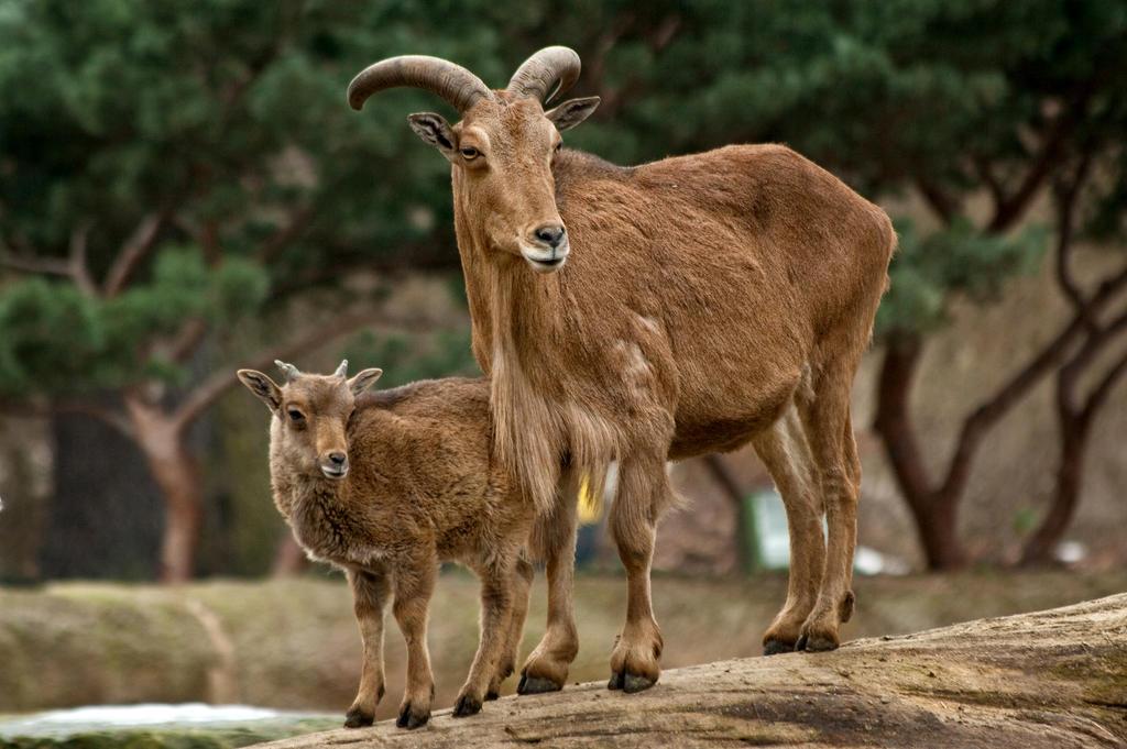 barbary sheep with child by Drezdany-stocks