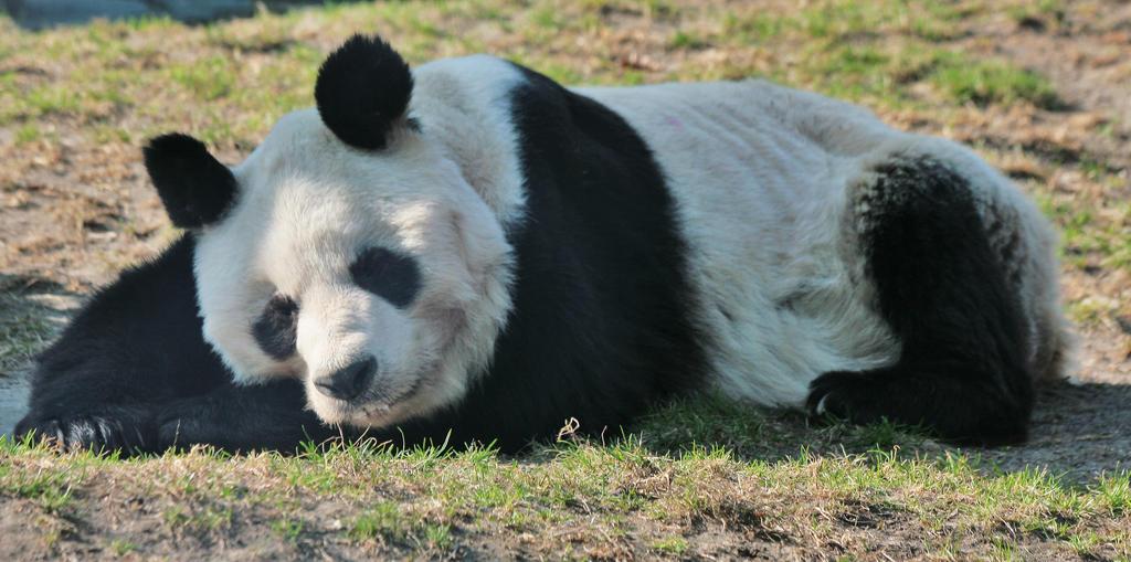 sleeping Panda by Drezdany-stocks