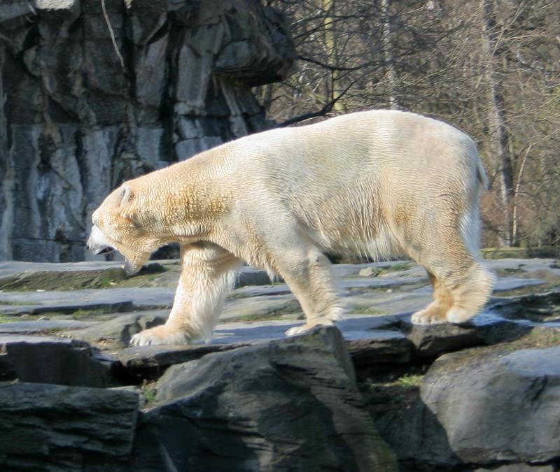 polar bear by Drezdany stocks