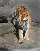 tiger by Drezdany-stocks