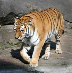 tiger 1 by Drezdany-stocks