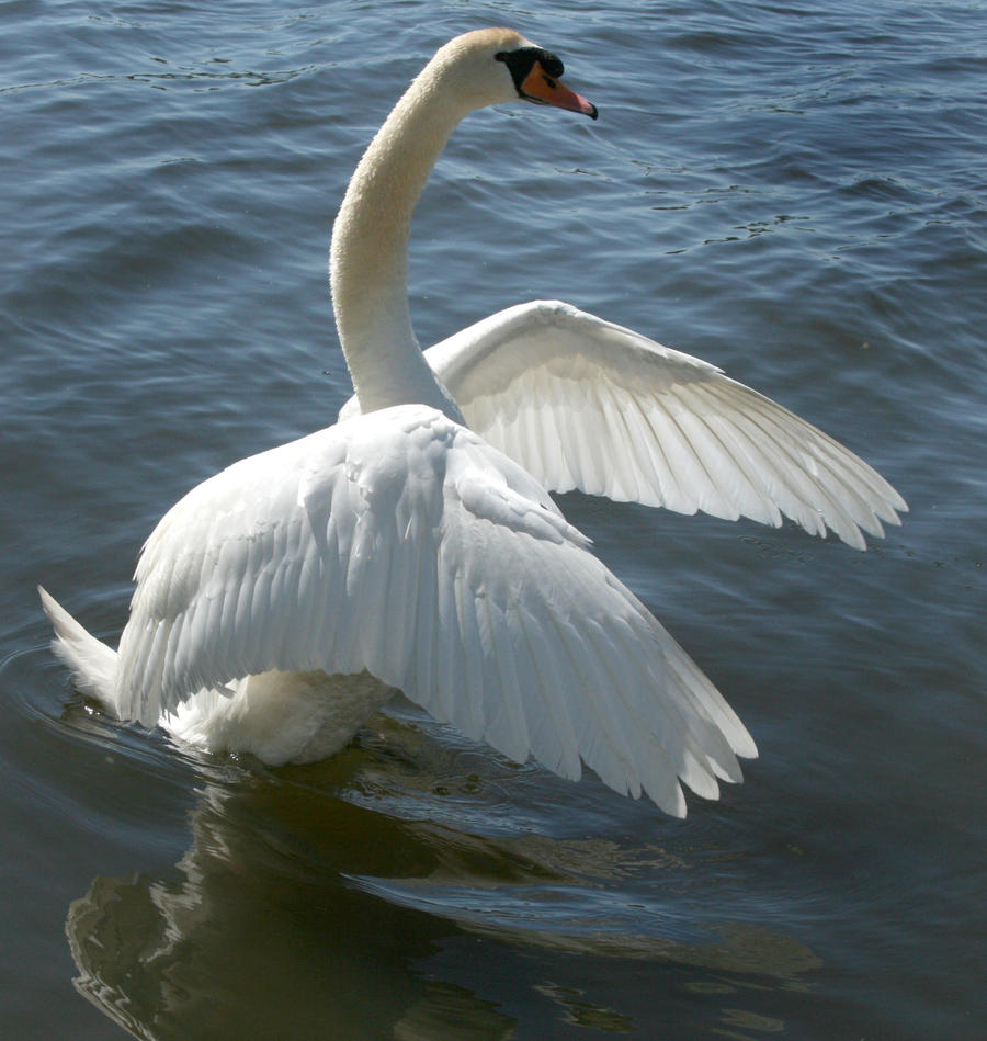 swan dancing 1 by Drezdany-stocks