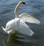 swan dancing 1