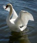 swan dancing 3