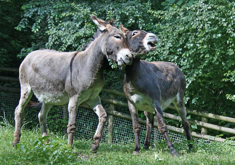 donkey 2 by Drezdany-stocks