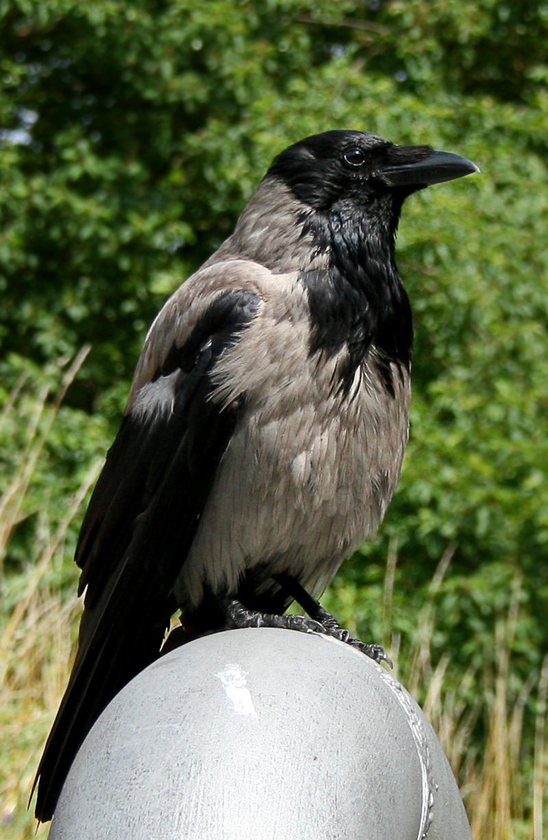raven 3 by Drezdany-stocks