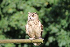 Eagle owl 2 by ditney