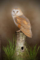 Barn Owl by ditney
