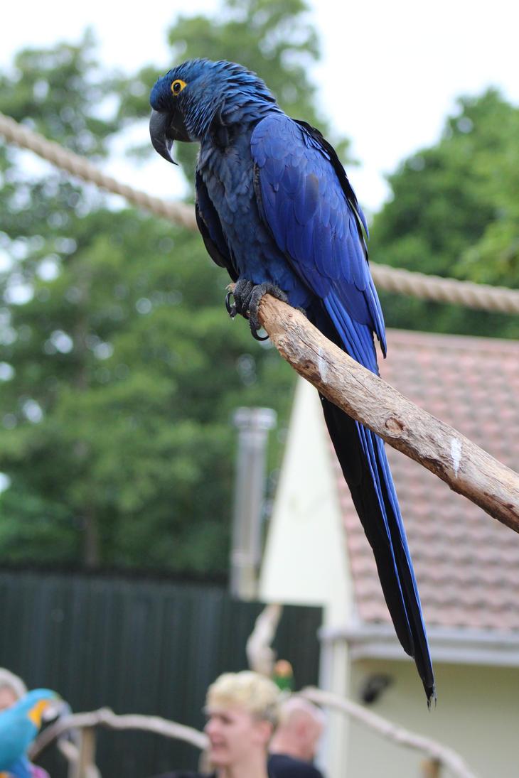 Hyacinth Macaw by ditney