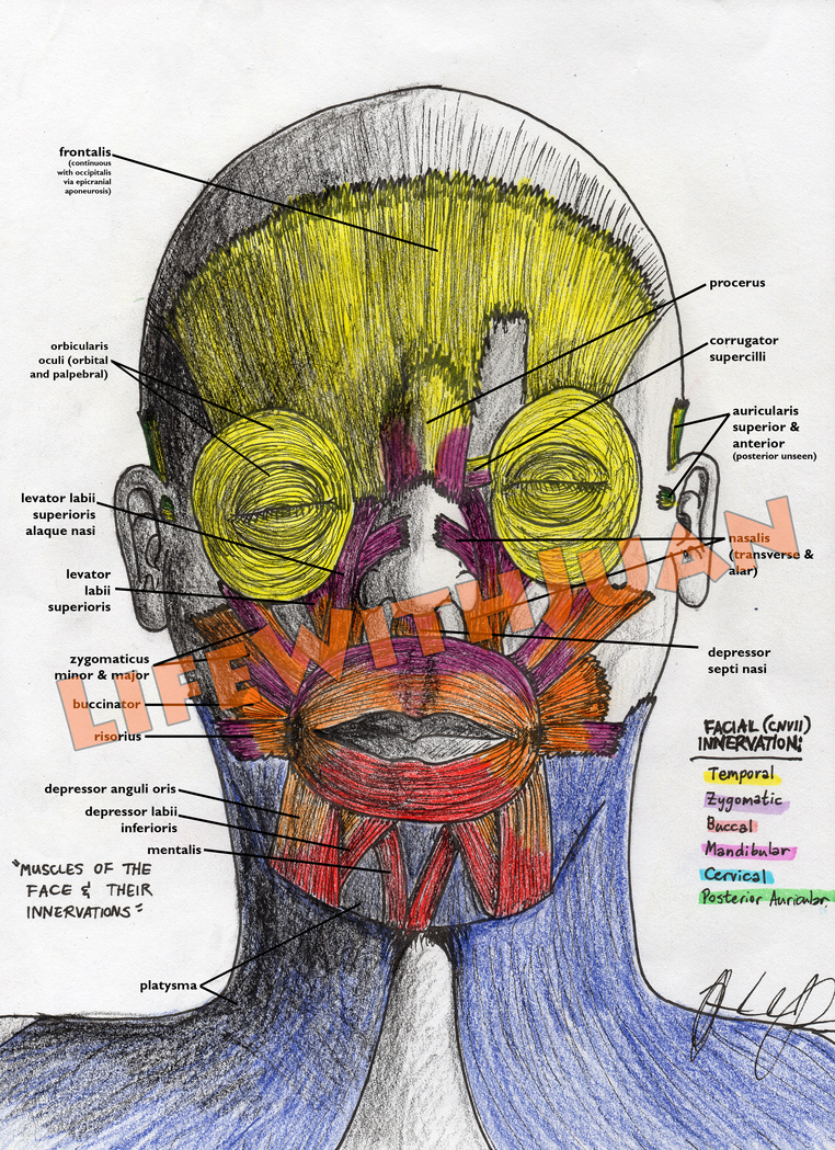 Muscles Of The Face Their Innervations By Lifewithjuan On Deviantart