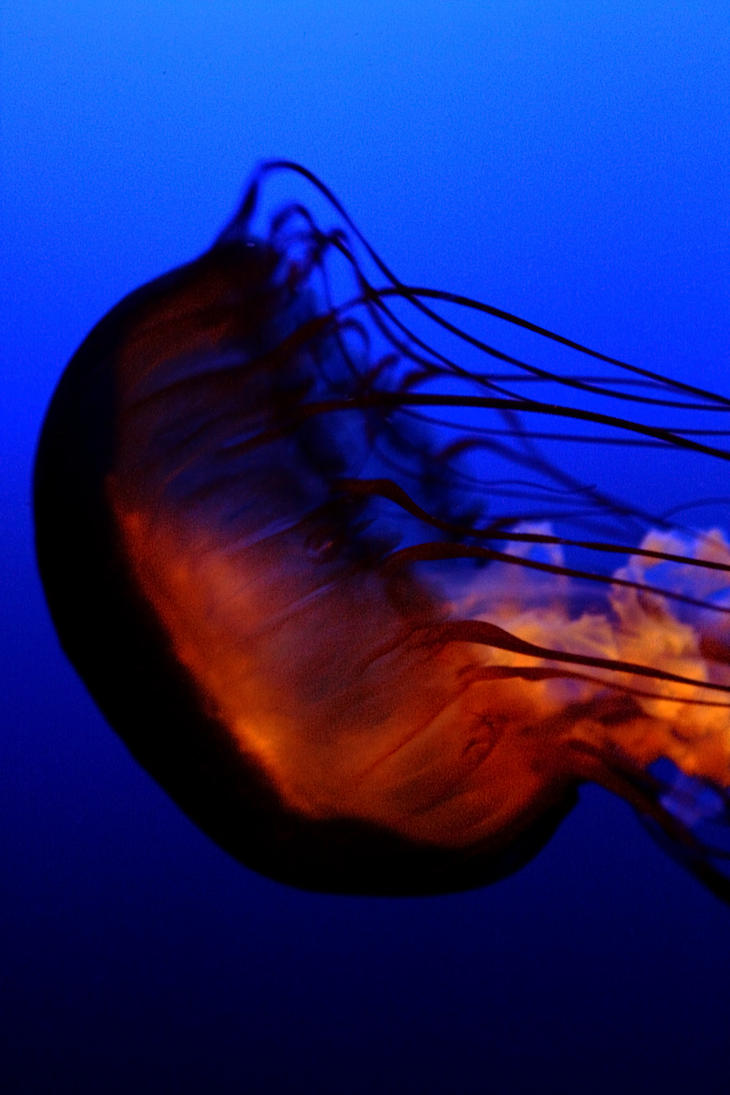 Jellyfish II by annaesthesia
