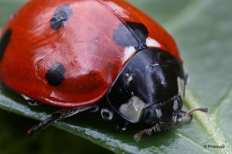Ladybug 4 by Prototyps