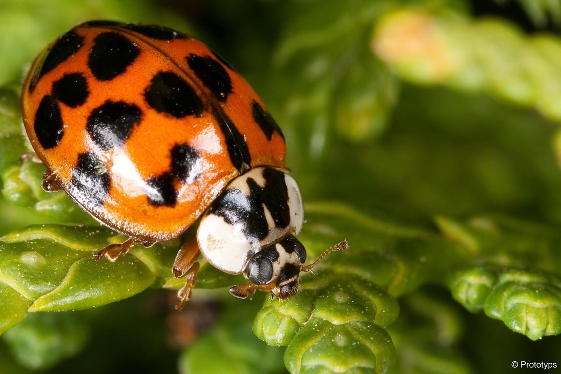 Ladybug 3 by Prototyps