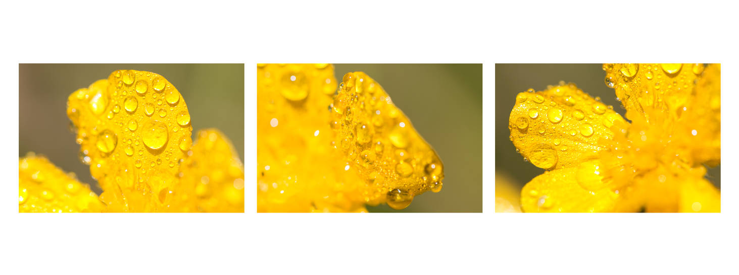Buttercups by Aroha-Photography