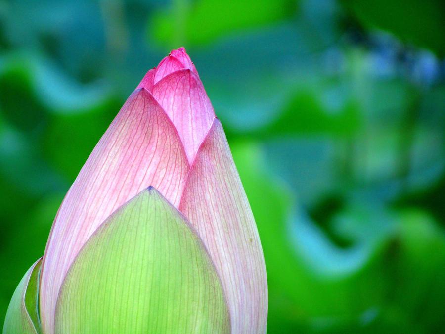 Lotus by InfiniteLytt