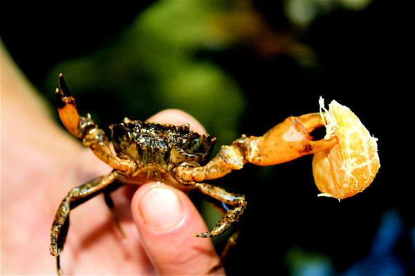 crab by oliwakeham