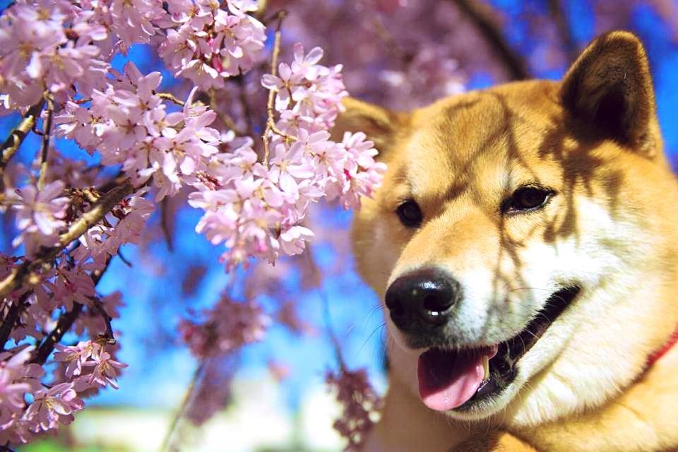 Spring Sakura by marustagram
