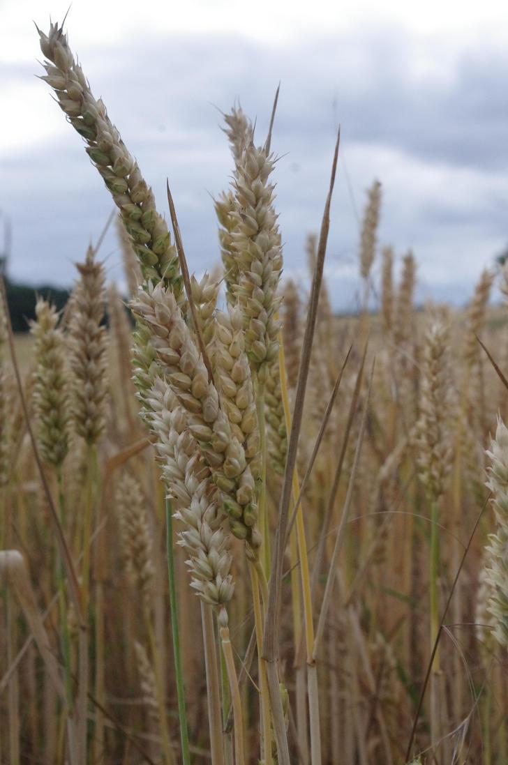 Wheat by skarlett-rosetta
