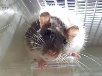 king rat by free4life241