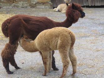 Alpaka nursing by The-Bardess