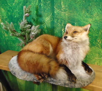 RED FOX SOFT MOUNT ON WINTER THEMED BASE***SOLD***