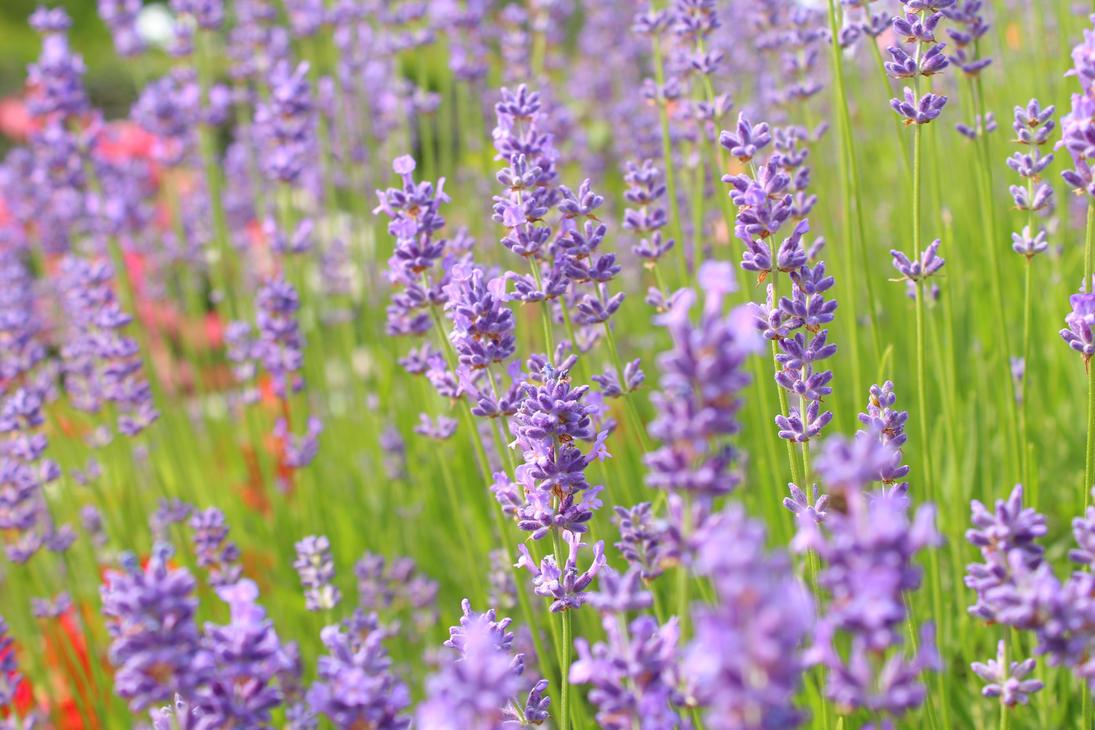 lavender by Mimetka