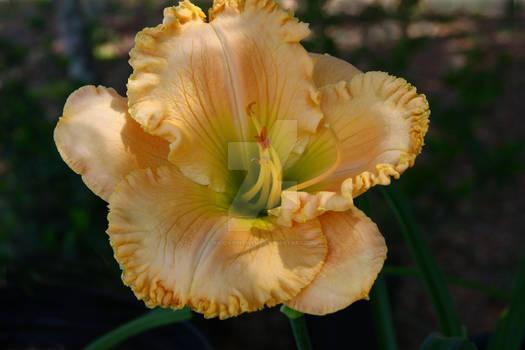 Orange Blossom Lane (First Bloom)