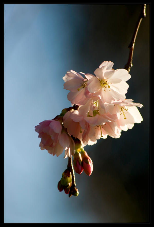 Blossom by george-kay