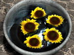sunflowers in water
