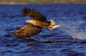 Eagle by Bjarna