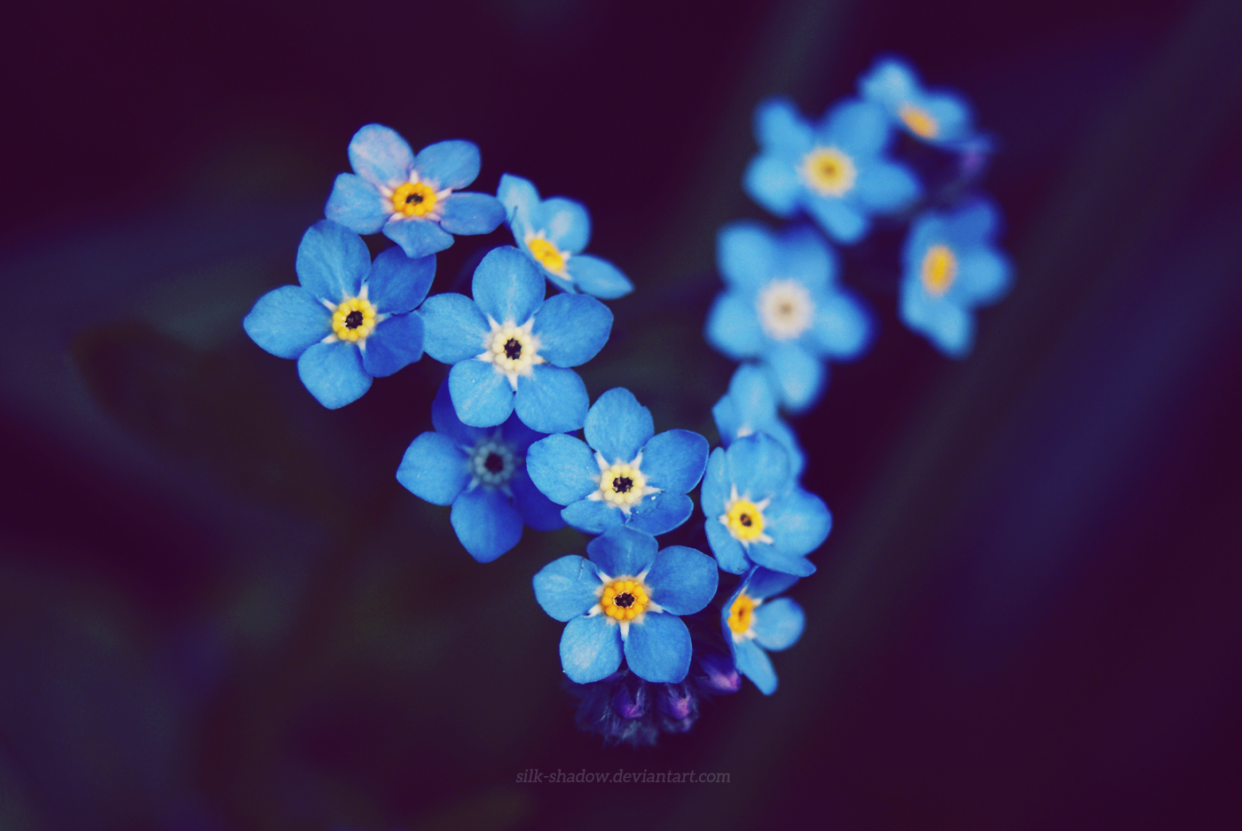 Forget Me Not By Silk Shadow On Deviantart