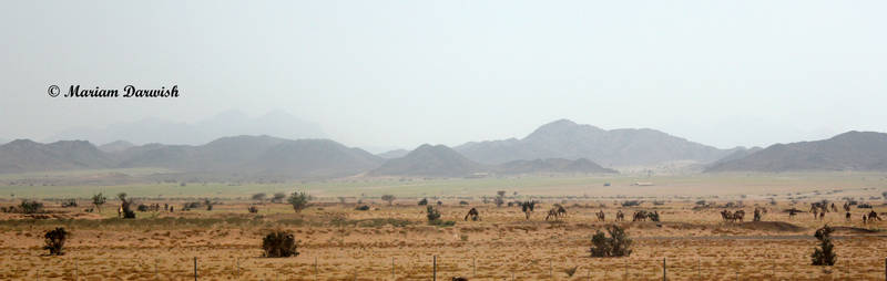 Camels on The Road to Madina