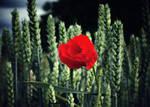 The lonely poppy